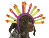 happy birthday dog - german short haired pointer wearing birthday candle headband on white background
