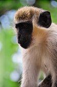 Serious Monkey Face
