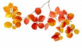Fothergilla Branch