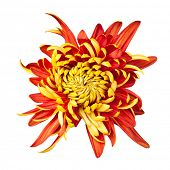 Beautiful golden autumn irregular incurve chrysanthemum,meaning big chrysanthemum, isolated on white background