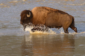foto of lamar  - An American Bison splashing across the Lamar River in Yellowstone National Park - JPG
