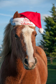 foto of horse wearing santa hat  - Chestnut pony wearing a hat with a Christmas message - JPG