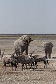 Elephants And Gemsbok