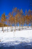 stock photo of birchwood  - Birchwood in the winter - JPG