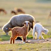 little baby goat on field in spring