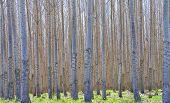 Hybrid Poplar Forest