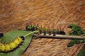 antherina suraka caterpillar