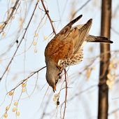stock photo of brown thrush  - thrush on branch in winter  - JPG