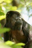Adult mantled howler monkey (Alouatta palliata)