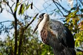 Large Marabou Stork