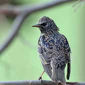 colorful starling bird on the branch (sturnus vulgaris)