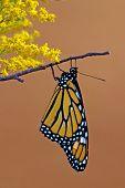 Female Monarch Butterfly (danaus Plexippus)