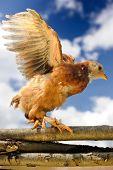 Chicken Walking On Wicker Fence With Wings Spread