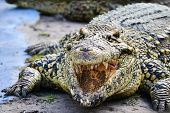 stock photo of alligator baby  - Nile Alligator - JPG