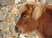 Head Of Brown Pony