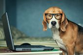 picture of smiling  - Sleepy beagle dog in funny glasses near laptop - JPG
