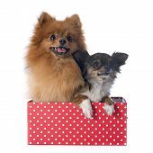foto of miniature pomeranian spitz puppy  - pomeranian spitz and chihuahua in front of white background - JPG
