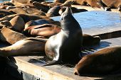 picture of sea lion  - Genuine Wild California sea lions AKA Zalophus californianus Lounge in the sun on docks in the harbor of Pier 39 in San Francisco California - JPG