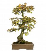 Korean Hornbeam bonsai tree, Carpinus turczaninowii, isolated on white