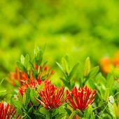 Red Flower Ixora