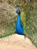 peacock with flowing tail