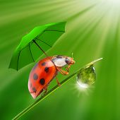 Funny picture from nature. Little ladybug with umbrella walking on the grass.