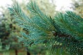 Green Branches Of A Pine With Rain Drops