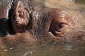Closeup View Of A Hippopotamus In Water