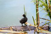 Coot (fulica) Nestling On A Lake