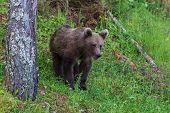 stock photo of omnivore  - young wild bear in the forest. Fagaras Mountains Romania