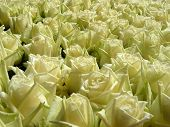 stock photo of one dozen roses  - Lots of long stem white roses for valentines day - JPG