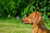 Portrait Of Dachshund Dog At Park