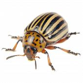picture of potato bug  - A close - JPG