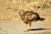 Gymnogene - African Wild Bird Background - Raptor Plumage