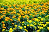 Marigold Meadow In Garden