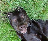 Labrador dog close up