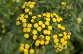 picture of tansy  - A yellow Tansy with bee on it - JPG