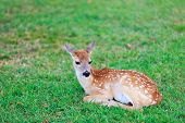 Little deer fawn with white spots lying on grass