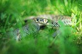 picture of green snake  - snake portrait on green grass background - JPG