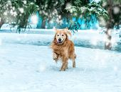 golden retriever walk at the snow in winter park