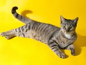 picture of yellow tabby  - Striped young cat lies on yellow background - JPG