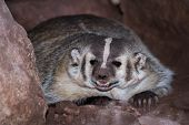 foto of badger  - close up of a wild badger in red rock dirt - JPG