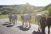 stock photo of burro  - pack of wild burros walking on the road at sunset - JPG