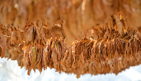 image of tobaco leaf  - Picture of a Drying tobacco leaves on sun - JPG