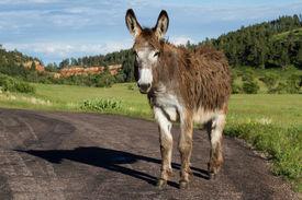 stock photo of burro  - lone wild burro on the road in Custer state park South Dakota - JPG