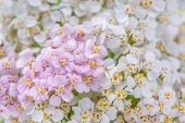 White And Pink Yarrow (Achillea) Flowers Close-up