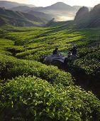 Tea pickers at dawn.