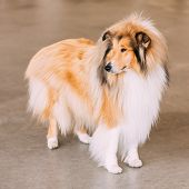 stock photo of collie  - Red Rough Collie Dog Full Length Portrait On Brown Floor - JPG
