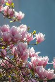 picture of magnolia  - Blossoming of magnolia flowers in spring time - JPG