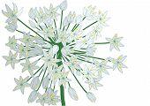 Allium On White